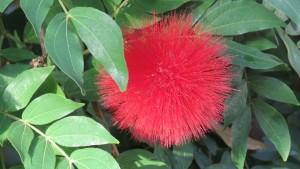 une fleur pompon